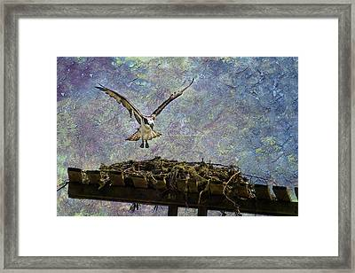 Osprey-coming Home Framed Print