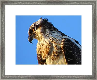 Osprey - Eager Youth Framed Print by Dianne Cowen