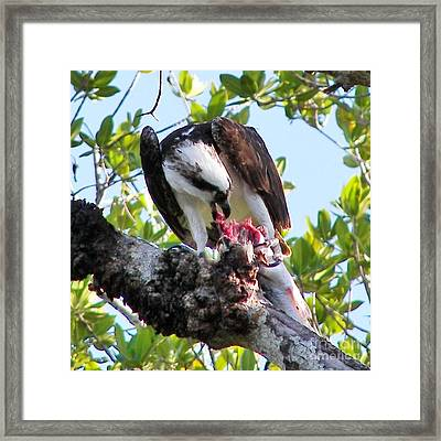 Osprey Eating A Large Fish Framed Print by Judy Via-Wolff