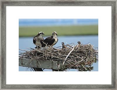 Osprey Family Framed Print by Diane Rada