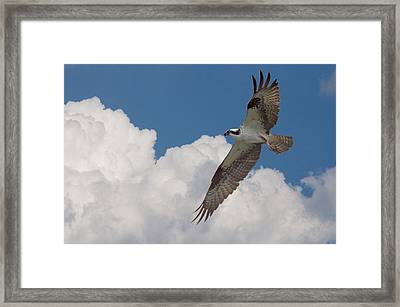 Osprey Flight Series 2 Framed Print