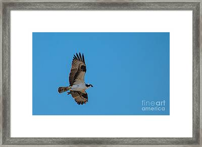 Osprey Flying Home With Dinner Framed Print by Robert Bales