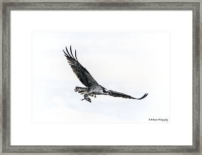 Osprey In Flight Framed Print