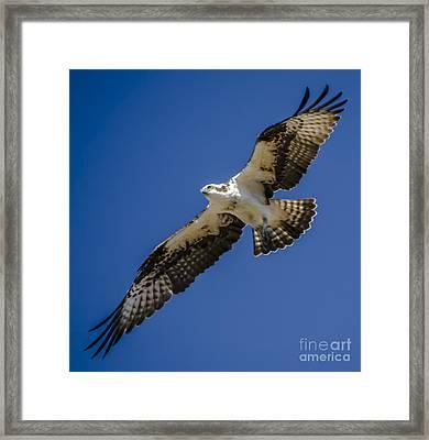 Osprey In Flight Framed Print by Dale Powell