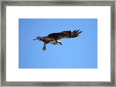 Osprey In Flight Framed Print by Darrin Aldridge