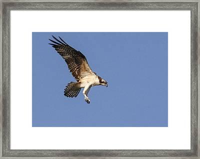 Osprey In Flight Framed Print by Jill Bell