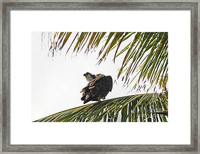 Osprey In Sanibel Framed Print by Natural Focal Point Photography
