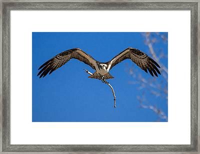 Osprey Inbound Framed Print by Bryce Bradford
