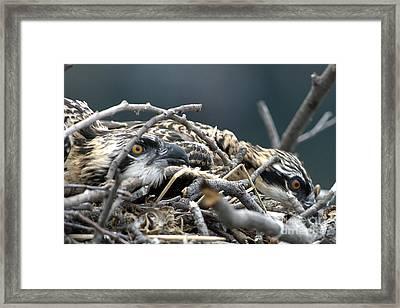 Osprey Nestlings Framed Print by Lauren Brice