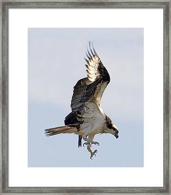 Osprey On Fripp Island Framed Print by Bill LITTELL