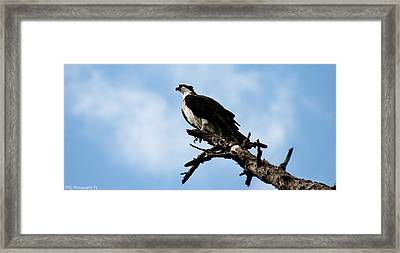 Osprey On Perch Framed Print