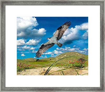 Osprey On Shackleford Banks Framed Print