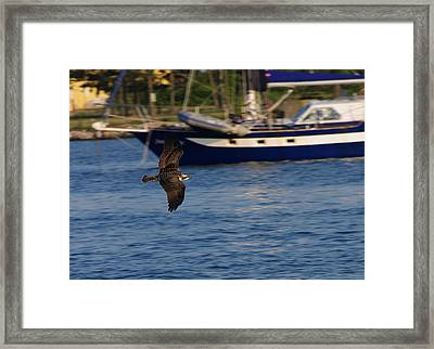 Framed Print featuring the photograph Osprey On The Hunt by Greg Graham