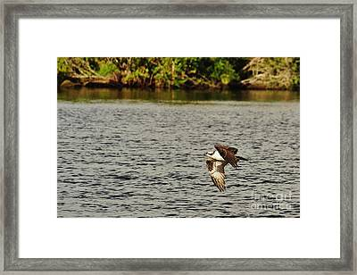 Osprey Over The River Framed Print by Wibada Photo