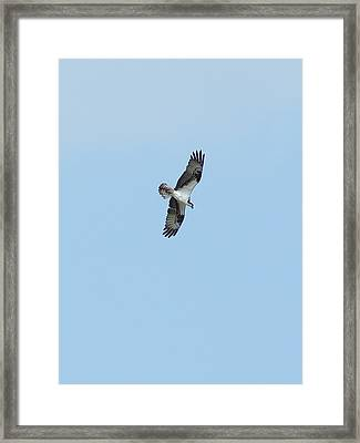 Framed Print featuring the photograph Osprey Overhead by Lynda Dawson-Youngclaus