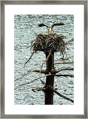 Osprey Pair Nesting Framed Print by Thomas R Fletcher