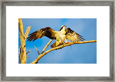 Osprey Pandion Haliaetus With Spread Framed Print by Panoramic Images