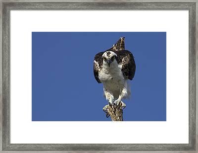 Osprey Photo Framed Print
