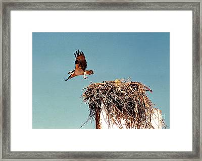 Osprey Framed Print by Phyllis Kaltenbach