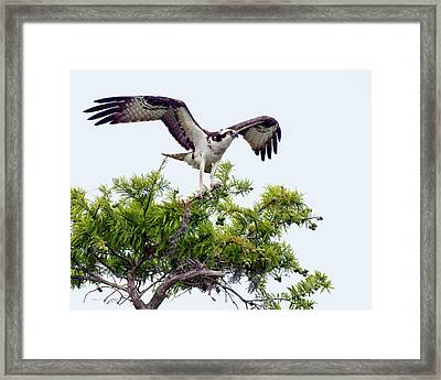 Osprey - Poised For Take-off Framed Print by Nikolyn McDonald