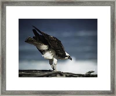 Osprey Ready For Takeoff Framed Print by Richard Mason