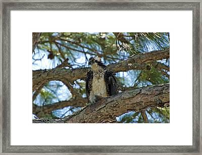 Osprey Framed Print by Rich Leighton