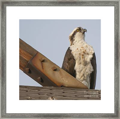 Osprey -seahawk Framed Print by Dale Powell