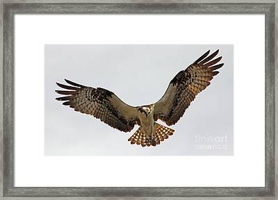 Osprey Spread Framed Print by Larry Nieland