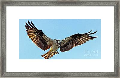 Osprey Talons First Framed Print