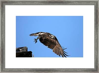 Osprey Wings Forward Framed Print by Darrin Aldridge