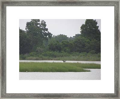 Osprey Wings Landing Framed Print by Debbie Nester