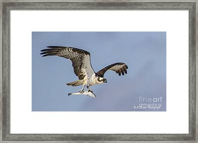 Osprey With Dinner Framed Print