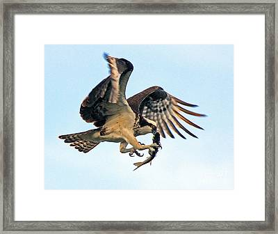 Osprey With Fish 1-6-15 Framed Print by Larry Nieland