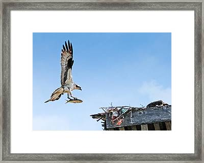 Osprey With Fish Framed Print by Bonnie Fink