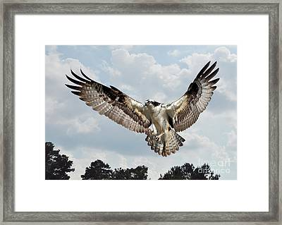 Osprey With Fish In Talons Framed Print by Kathy Baccari