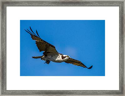 Osprey With Its Little Pray Framed Print by Andres Leon