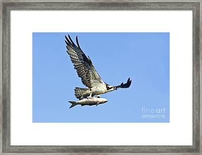 Osprey With Mullet Framed Print