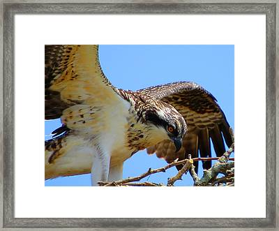 Framed Print featuring the photograph Osprey Youth by Dianne Cowen