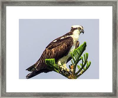 Osprey Framed Print by Zina Stromberg