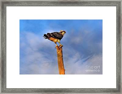Osprey's Morning Catch Framed Print