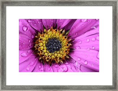 Osteospermum Centre Abstract Framed Print by Nigel Downer