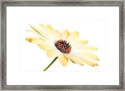 Osteospermum Sunny Flower I Framed Print by Natalie Kinnear