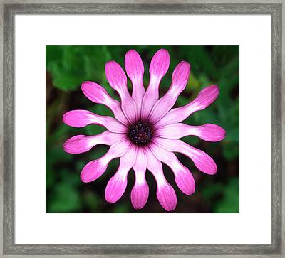 Osteospermum 'whiligig' Abstract Framed Print by Nigel Downer