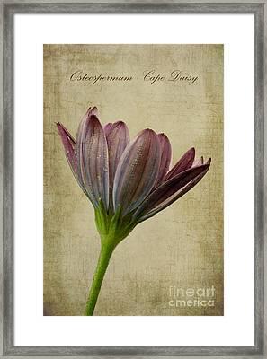 Osteospermum With Textures Framed Print by John Edwards