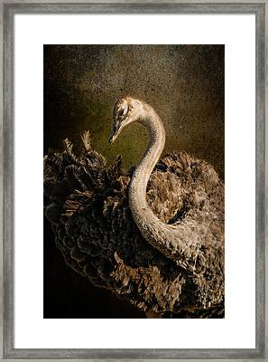 Ostrich Ballet Framed Print by Mike Gaudaur