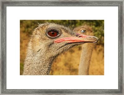 Ostrich Closeup Framed Print by Jess Kraft