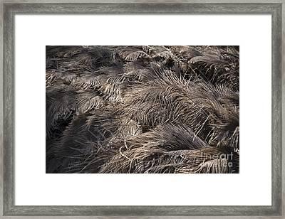 Ostrich Feathers  Framed Print by Douglas Barnard