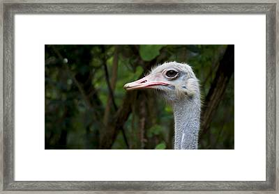 Ostrich Head Framed Print by Aged Pixel