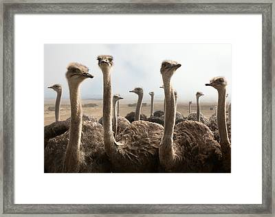 Ostrich Heads Framed Print by Johan Swanepoel