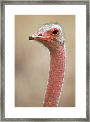 Ostrich Kenya Africa Framed Print by Panoramic Images